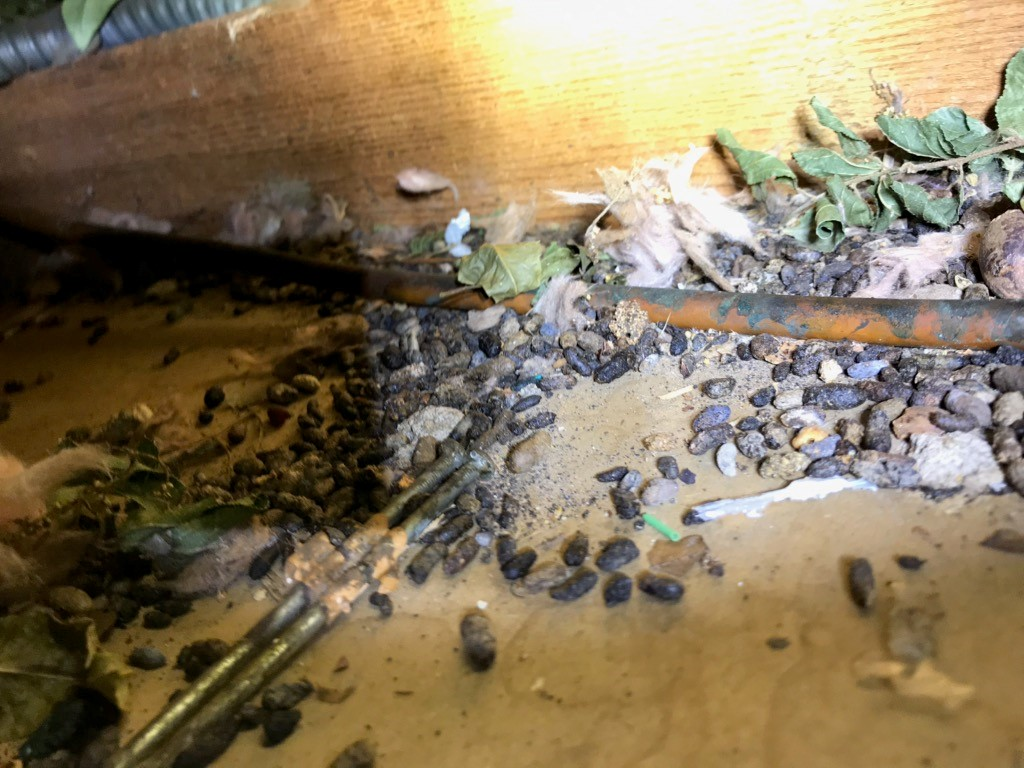 An Overview of the Real Health Risks Posed By Mice and Rat Infestations